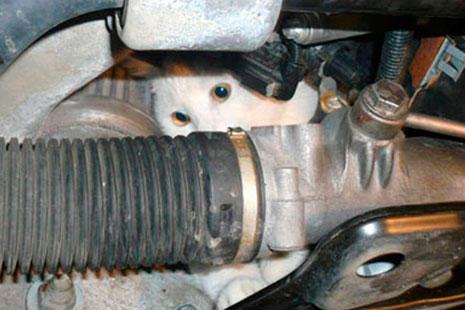 Gato dentro del capó de un coche