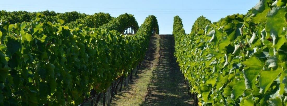 Un viñedo de uvas para vino tinto