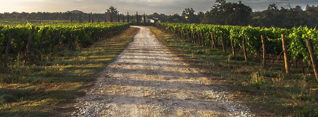 Camino de tierra entre viñedos en La Toscana