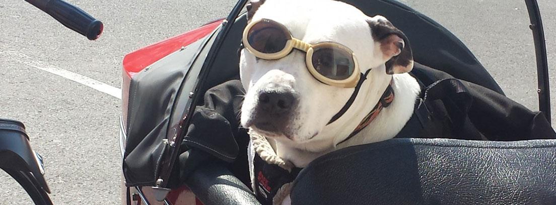 Perro con gafas en el sidecar de una moto