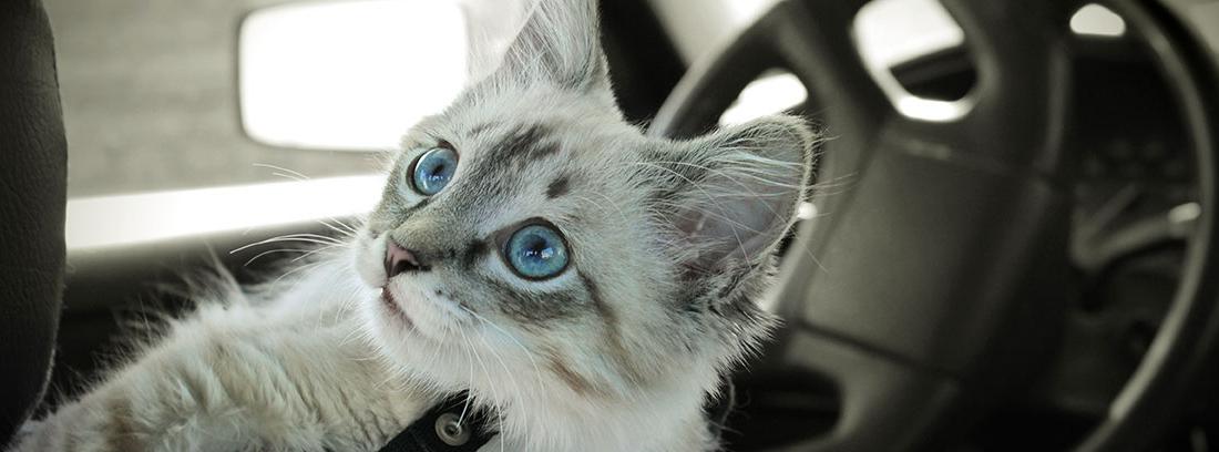Gato blanco dentro de un coche