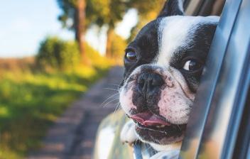 Perro asomando la cabeza por la ventanilla de un coche